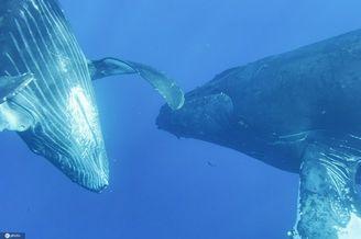 近距離拍攝座頭鯨和幼崽同游