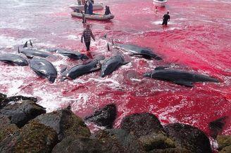丹麦捕鲸:尸体遍布血染海湾