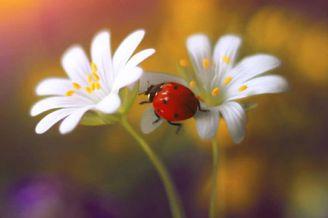 七星瓢虫的迷你写真
