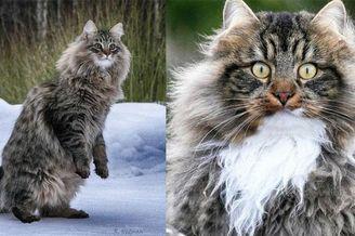 雪地里的霸主气概 猫咪在雪地里的欢脱时刻