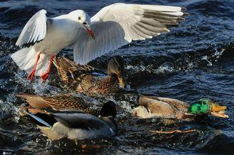 俄罗斯伏尔加河上上演夺食大战