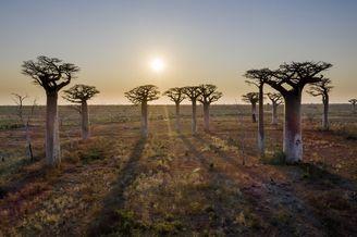 马达加斯加猴面包树大道