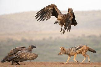 """南非:谁怕谁!豺狼与秃鹫为争夺美食大打""""群架"""""""