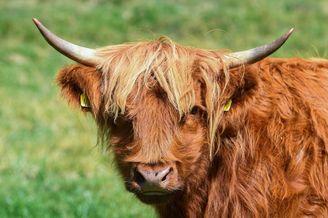 英国高地牛热懵