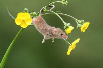英国巢鼠攀爬植物秀杂技