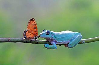 跨界爱情?印尼蝴蝶与老爷树蛙浪漫亲吻