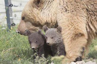 棕熊妈妈笼中禁锢十年获自由