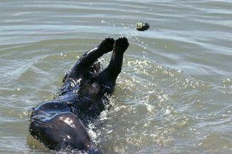 加州海獭躺水面上扔石头玩 沉浸其中不亦乐乎