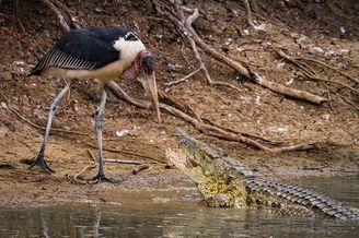 非洲两鳄鱼捕食猎物画面震撼 尽显大自然的残酷