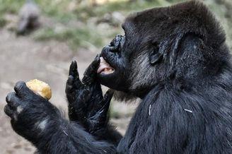 洛杉矶动物园大猩猩大口吃冰