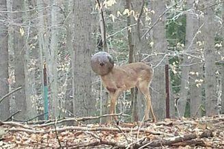野鹿被卡玻璃灯罩四天不吃不喝