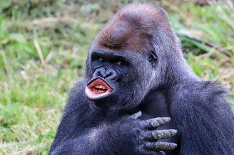 英国猩猩也反特朗普 噘嘴模仿其招牌动作场面爆笑