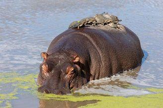 心机水龟爬到河马背上搭便车