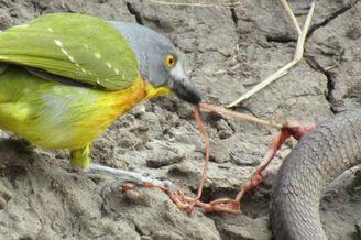 灰头丛鵙斗蛇 直接啄出肠子