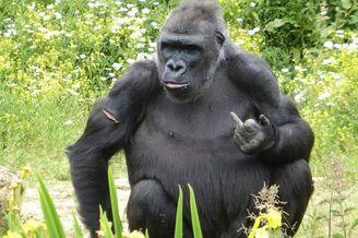 英国动物大猩猩朝游客竖中指