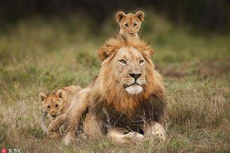 """小狮子爬到雄狮背上""""骑大马"""""""