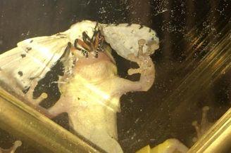 美国大蛾子生命力惊人
