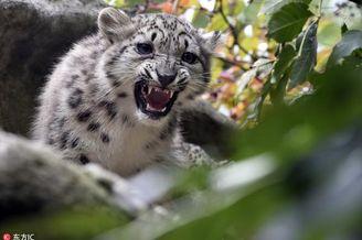 捷克动物园雪豹嬉闹玩耍