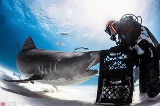 潜水员对鲨鱼施展催眠术