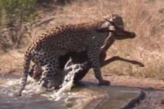 鬣狗欲从花豹夺食反助猎物逃生