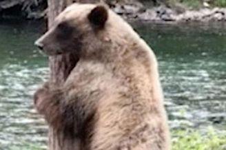 """加拿大一棕熊跳起""""电臀舞"""""""
