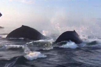 加拿大三头座头鲸相继跃出水面