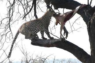 南非花豹树上拖拽被卡猎物