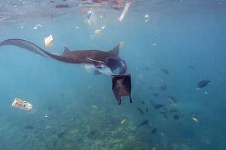 魔鬼鱼在垃圾成堆海域穿梭