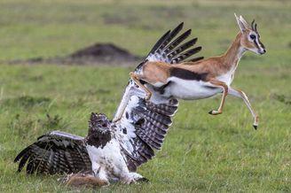 瞪羚勇斗巨鹰欲解救被俘幼崽