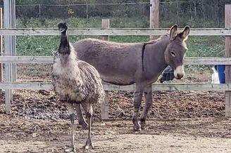 美毛驴和鸸鹋获救后坠入爱河