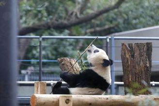 """旅日大熊猫""""香香""""独立"""