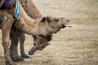 骆驼摔跤节场面激烈唾沫横飞