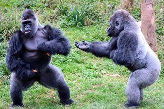 大猩猩求同伴分享食物遭拒绝