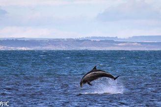 苏格兰海豚跃出水面