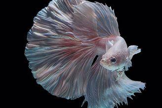暹罗斗鱼变身优雅水中舞者