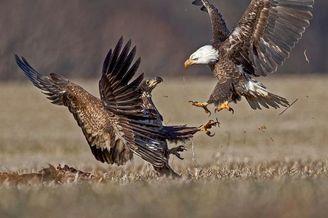 白头鹰为争夺鹿尸激烈角逐