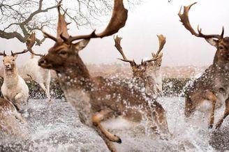鹿群被宠物狗追赶惊慌逃窜