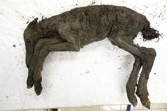 4.2万年前马驹尸体提取出细胞