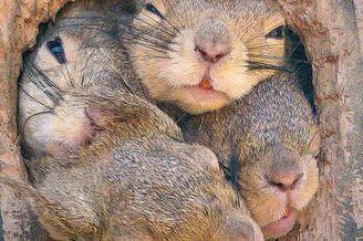 4只松鼠争先出巢脑袋填满树洞