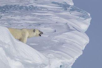 北极熊宝宝跌落冰崖熊妈妈寻子