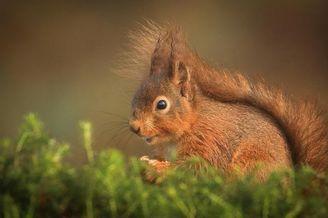 抓拍到红松鼠空中跳跃摘食有趣画面