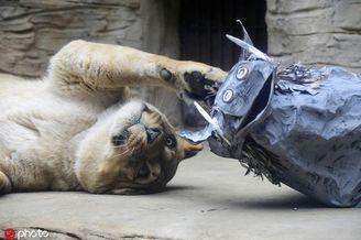 动物园给狮子送纸糊疣猪练狩猎