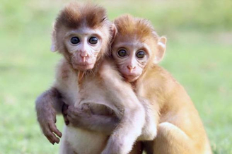 印度两小只猴子获救后依偎一起