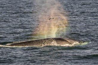 长须鲸喷出水花瞬间形成彩虹