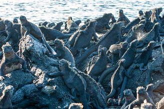 成千上万鬣蜥集聚海滩享受阳光