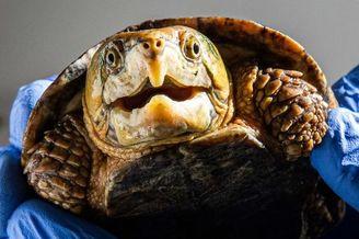 濒危海龟因脑袋太大不能缩壳
