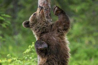 摄影师拍摄熊挠痒似跳舞