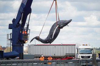 小座头鲸被船只碰撞死亡