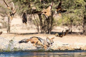 饿豺捕鸟大作战成功捕捉猎物