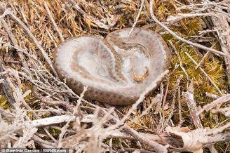 蝰蛇幼体从卵膜挣扎钻出